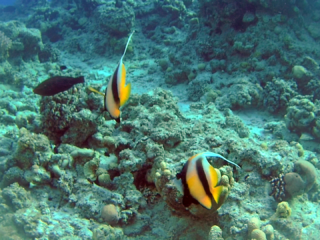 Il Pesce Farfalla Bandiera Del Mar Rosso - The Red Sea Bannerfish - Heniochus Intermedius - Intotheblue.it