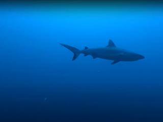 Squalo Grigio - Carcharhinus Amblyrhynchos - Intotheblue.it