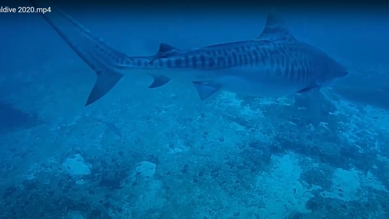 Squalo Tigre Maldive - Carlo Terreni