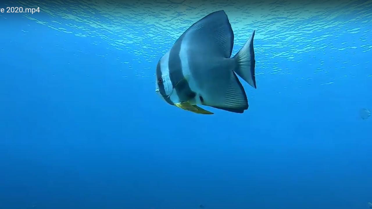 Platax teira - pesce Pipistrello pinna lunga - intotheblue.it