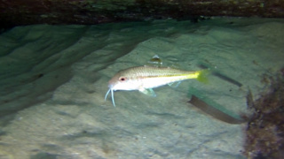 Red Mullet - Mullus Barbatus