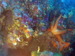 Stella Marina Rossa - Echinaster Sepositus - Mediterranean Red Starfish - Intotheblue.it
