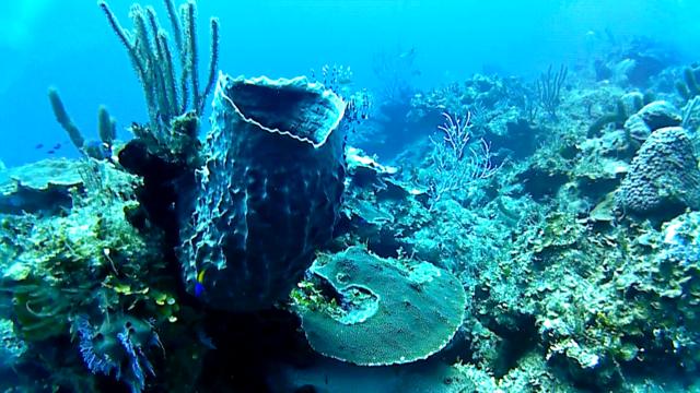 La spugna Barile - The giant Barrel sponge - Xestospongia muta - intotheblue.it