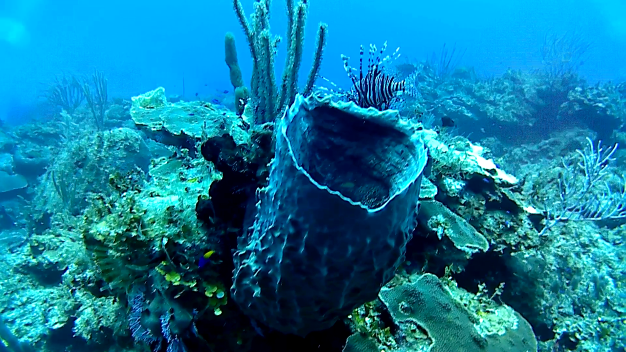 La spugna Barile - The giant Barrel sponge - Xestospongia muta - intotheblue.it