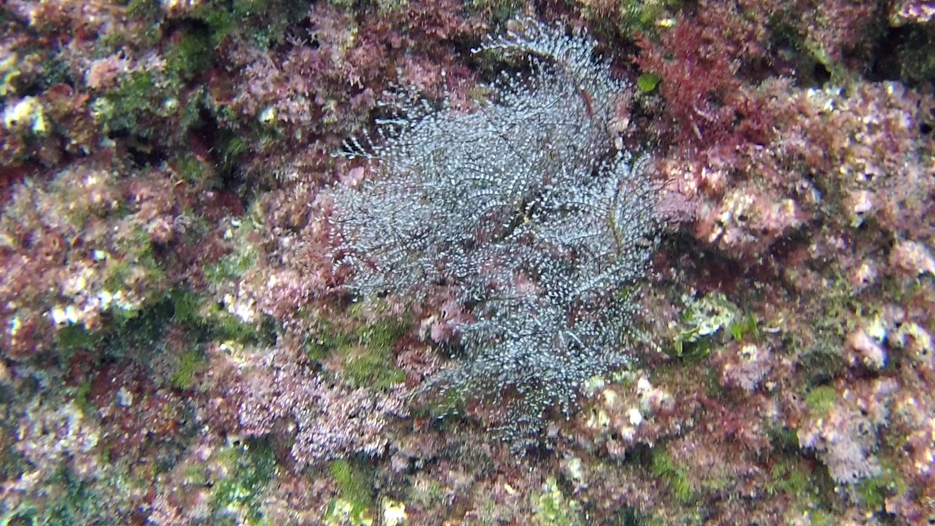 Alga Cystoseira brachycarpa - intotheblue.it