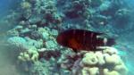 Tordo Gola Rossa - Cheilinus fasciatus