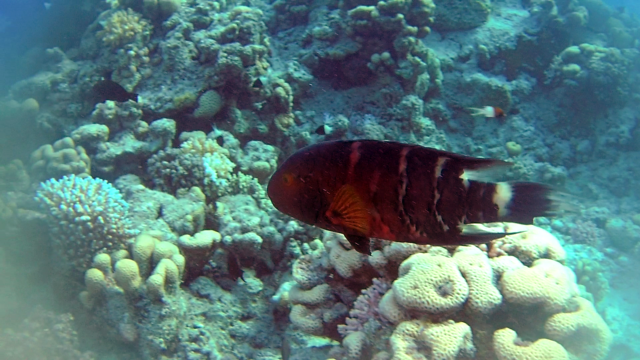 Il Tordo a gola rossa - The Red-breasted Wrasse - Cheilinus fasciatus- intotheblue.it