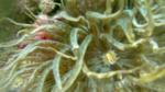 Trumpet anemone Aiptasia mutabilis Anemone bruno intotheblue.it