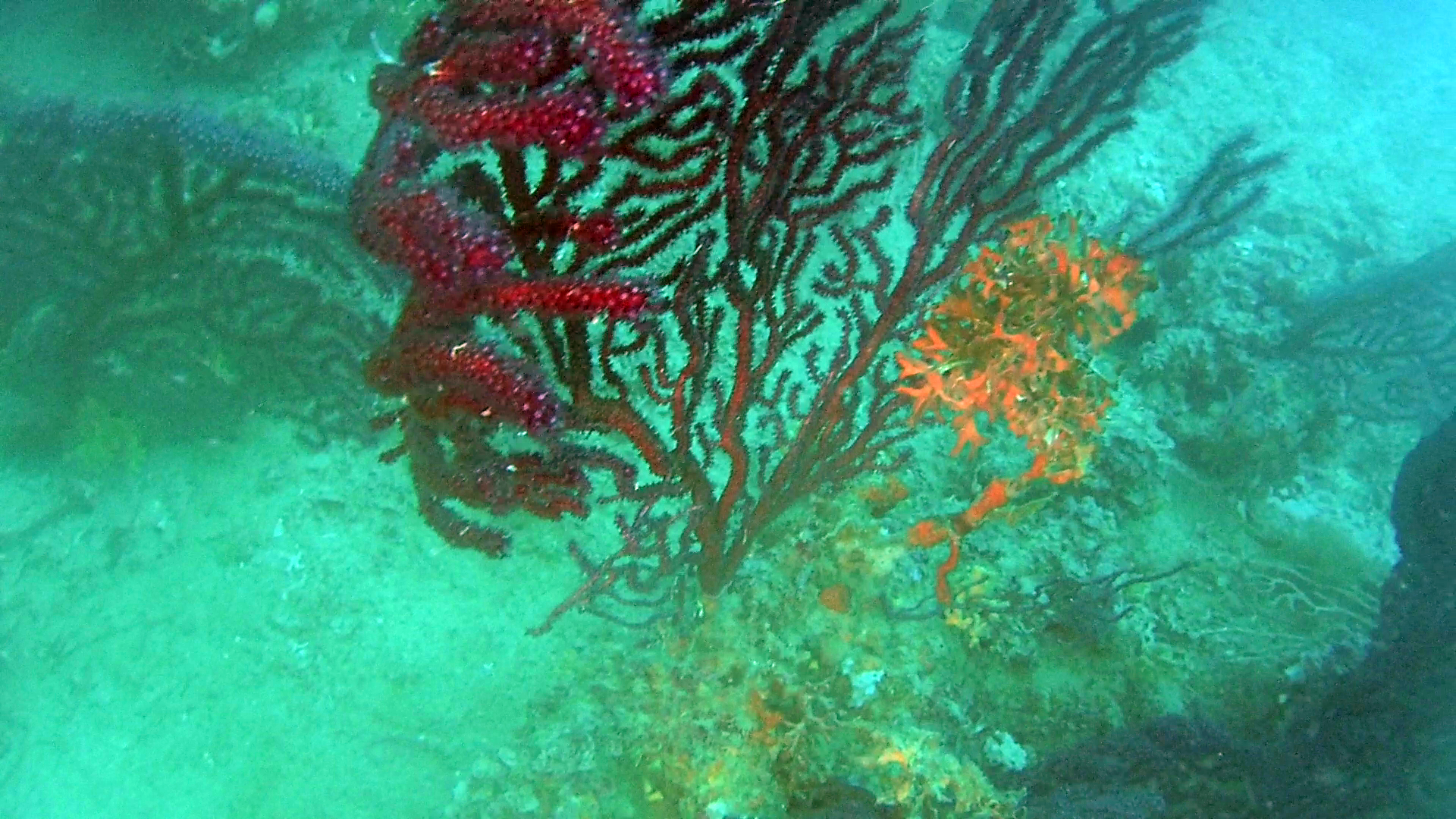 Gorgonia rossa parassitata da Alga rossa - Red algae on Violescente Sea-whip - intotheblue.it