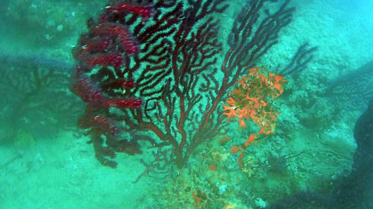 Gorgonia rossa parassitata da Alga rossa - Red algae on Violescente Sea-whip - intotheblue.it