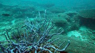 Callyspongia ramosa sponge