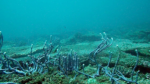 The sponge Callyspongia ramosa - La spugna Callyspongia ramosa - intotheblue.it