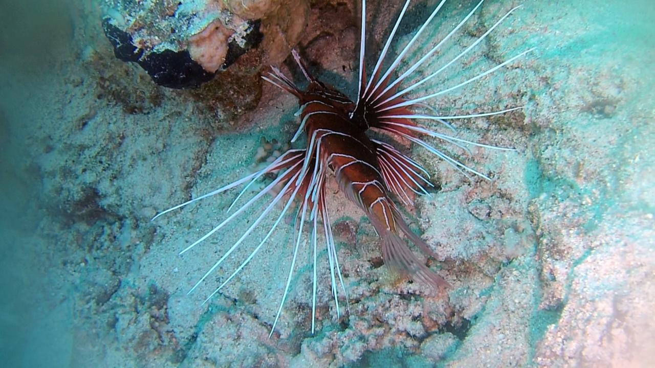 Il Pesce Scorpione - The Red Lionfish - Pterois volitans - intotheblue.it