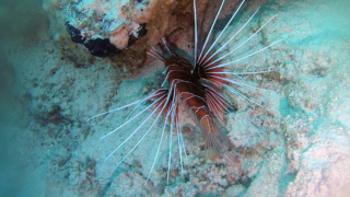 TheRed Lionfish