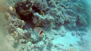 Pesce Farfalla coda rossa - Chaetodon paucifasciatus