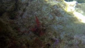 Bavosa Rossa Lipophrys nigriceps Red Blenny intotheblue.it