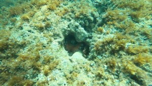 Octopus vulgaris Polpo intotheblue.it