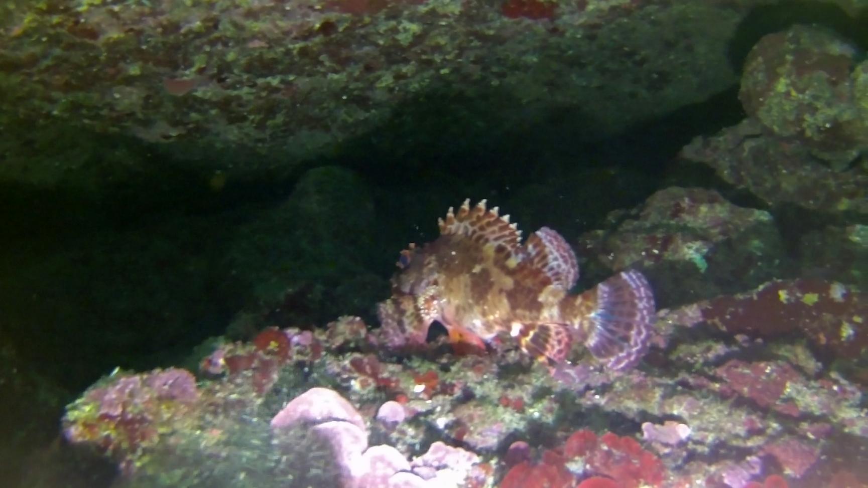 Scorfano nero o Scorfano bruno - Black Scorpionfish - Scorpaena porcus - intotheblue.it