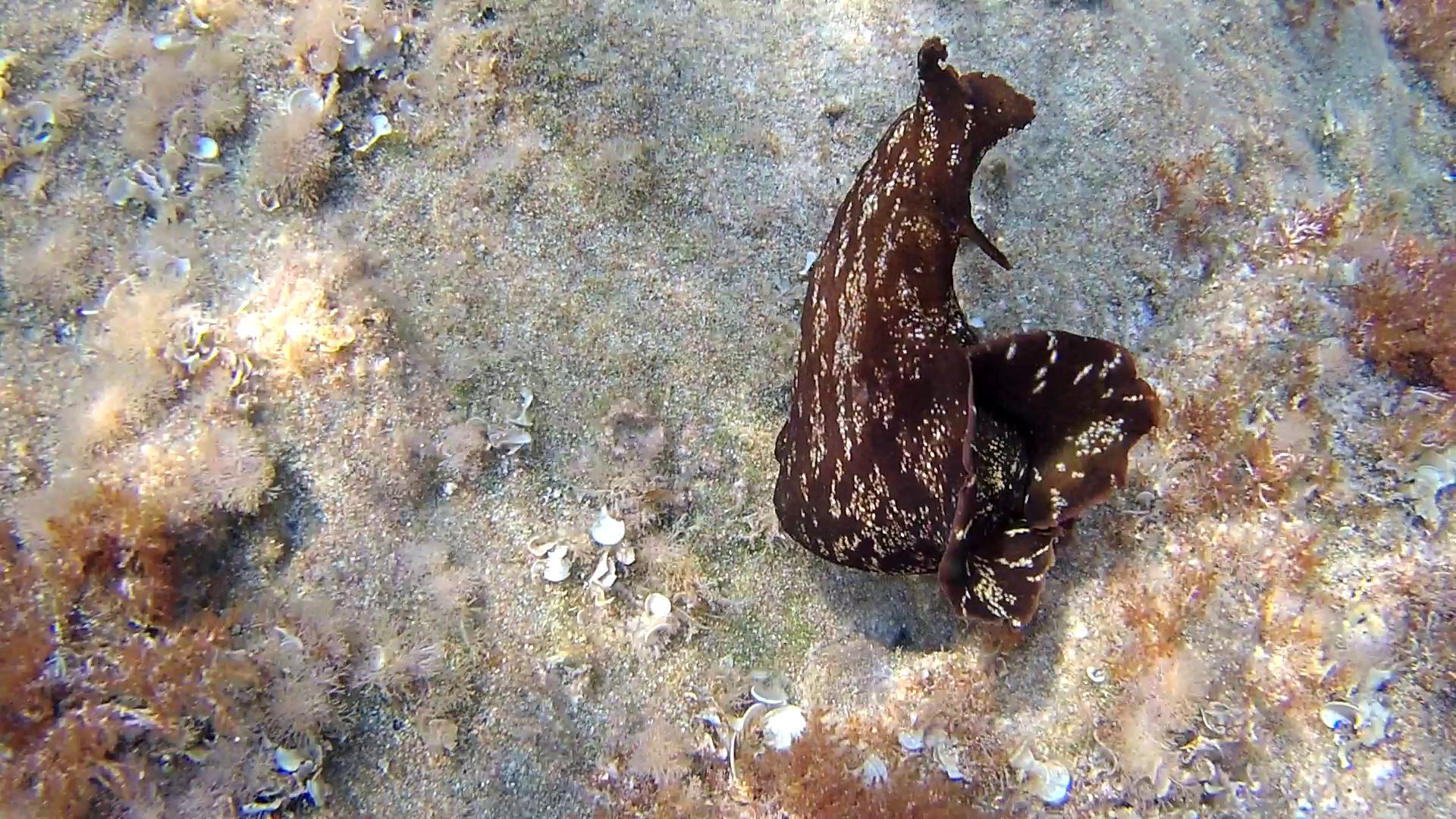 Lepre marina - Aplysia depilans - Depilatory sea hare - Ballerina spagnola del Mediterraneo - intotheblue.it
