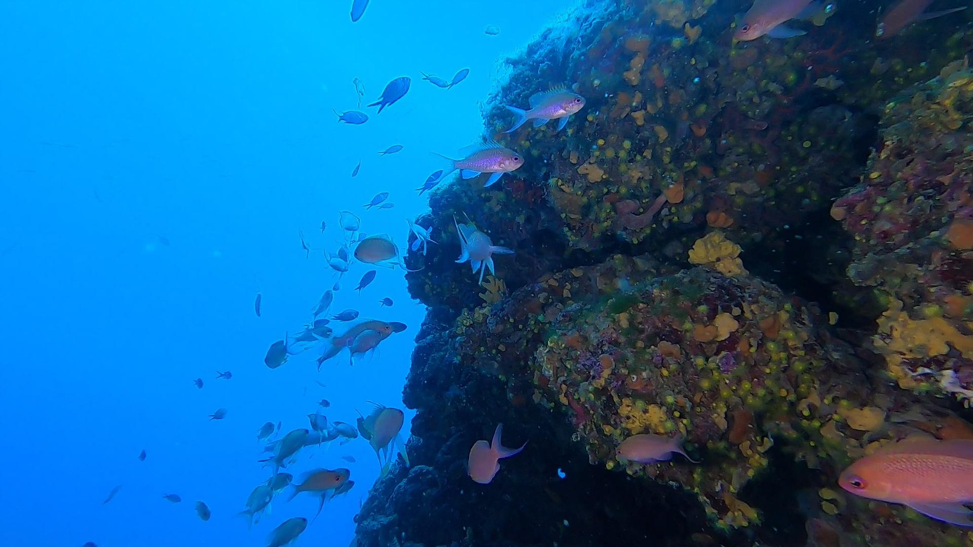 Anthias anthias Castagnola rossa Marine goldfish - intotheblue.it