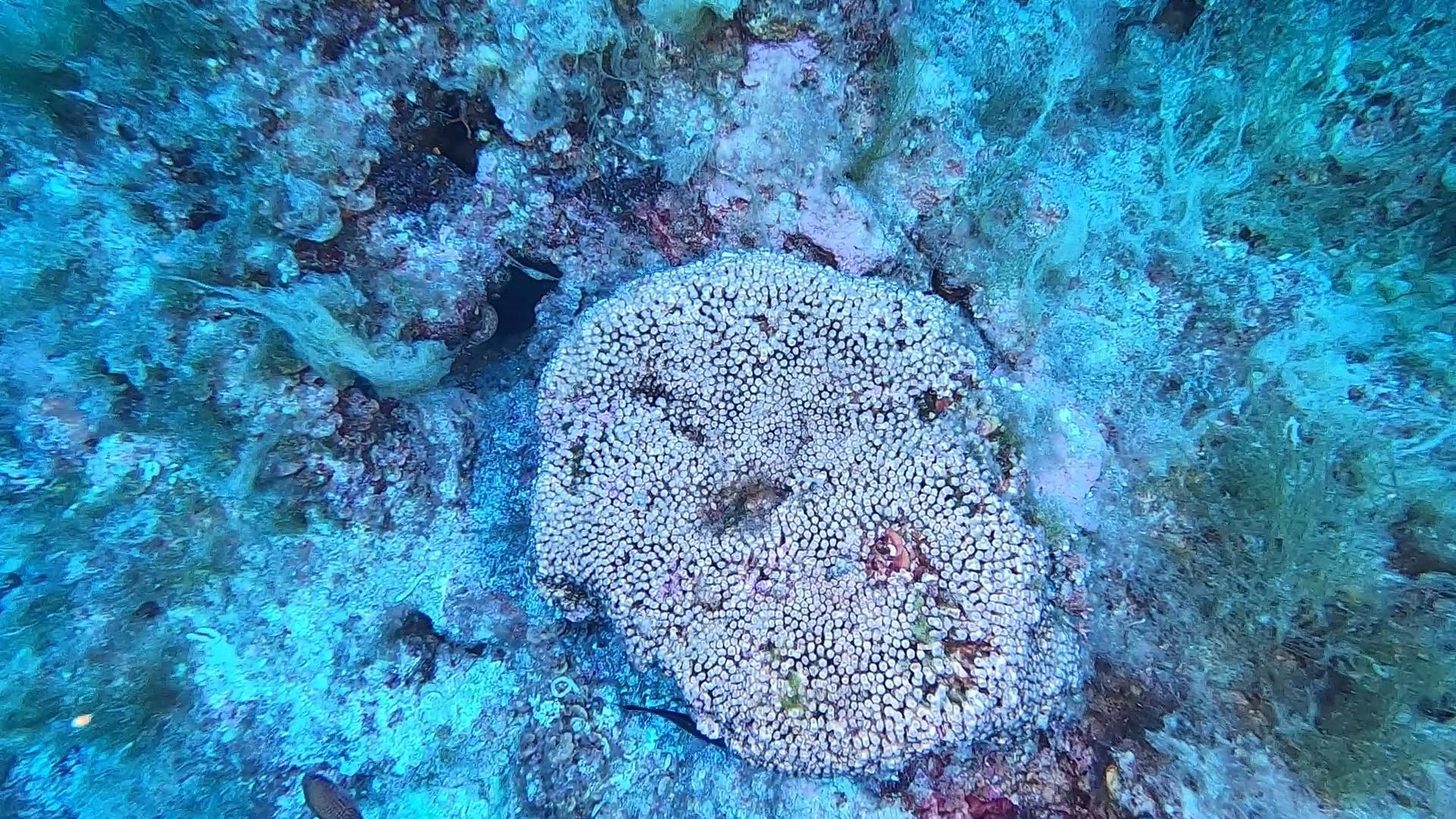 Cladocora caespitosa Madrepora a Cuscino cushion coral intotheblue.it