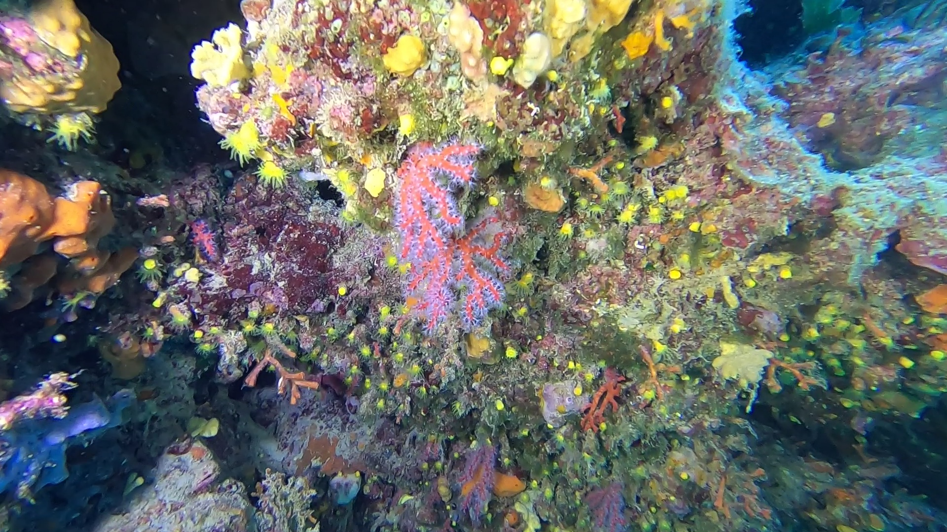 Corallo rosso Corallium rubrum Precious coral Red Coral intotheblue.it