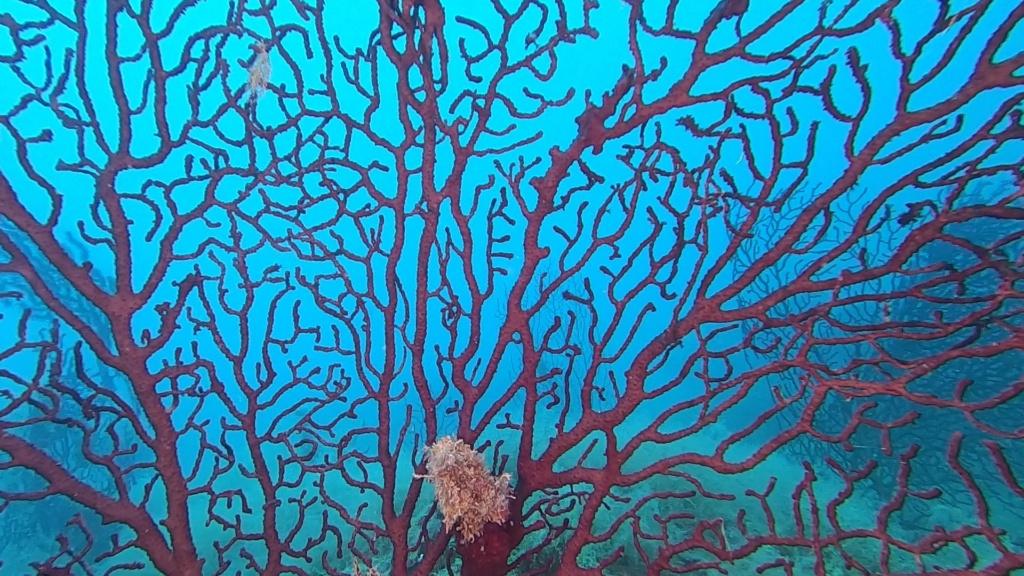 Gorgonia rossa, Paramuricea clavata, Violescent sea-whip. Dive with Paramuricea clavata. intotheblue.it