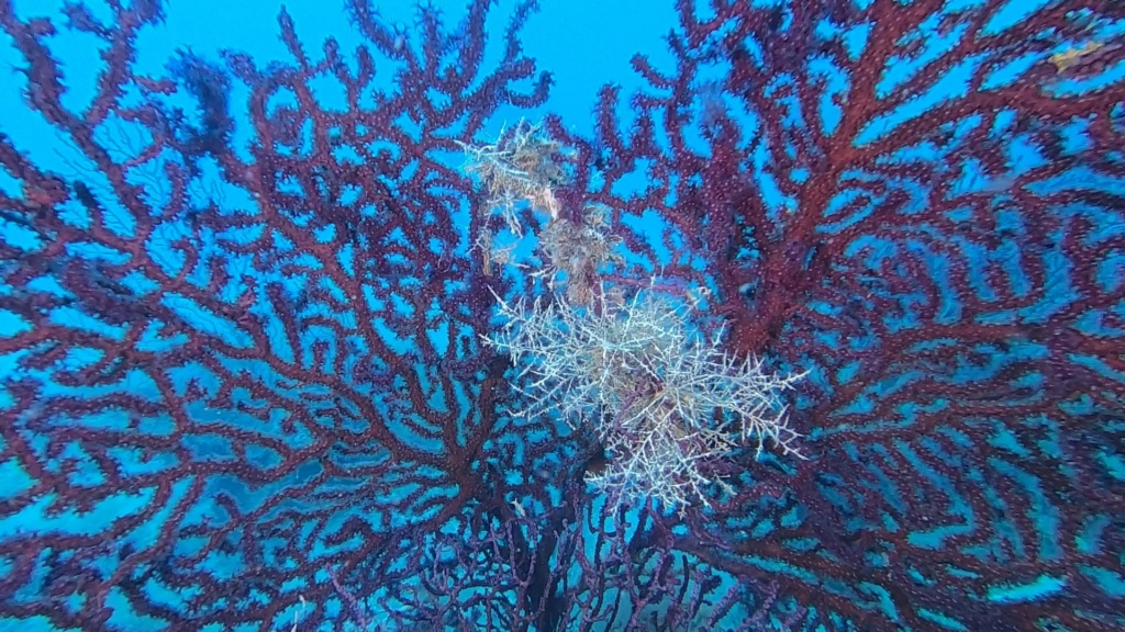 Gorgonia rossa, Paramuricea clavata, Violescent sea-whip. Immersione tra le Gorgonie rosse. intotheblue.it