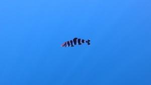 Pesce Pilota - Naucrates ductor
