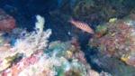 Serranus cabrilla Perchia Comber fish intotheblue.it