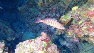 Comber fish- Serranus cabrilla