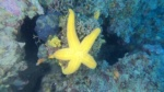 Stella Marina Arancio Hacelia attenuata Orange starfish intotheblue.it