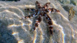 Theblue spiny starfish