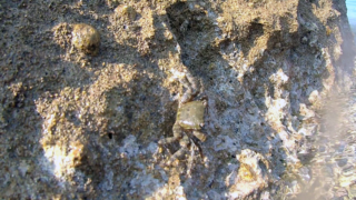 TheMarbled Rock Crab