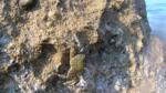 Granchio corridore - Pachygraptus marmoratus - intotheblue.it