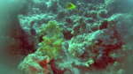 Yellow Soft coral - Dendronephthya hemprichi - intotheblue.it