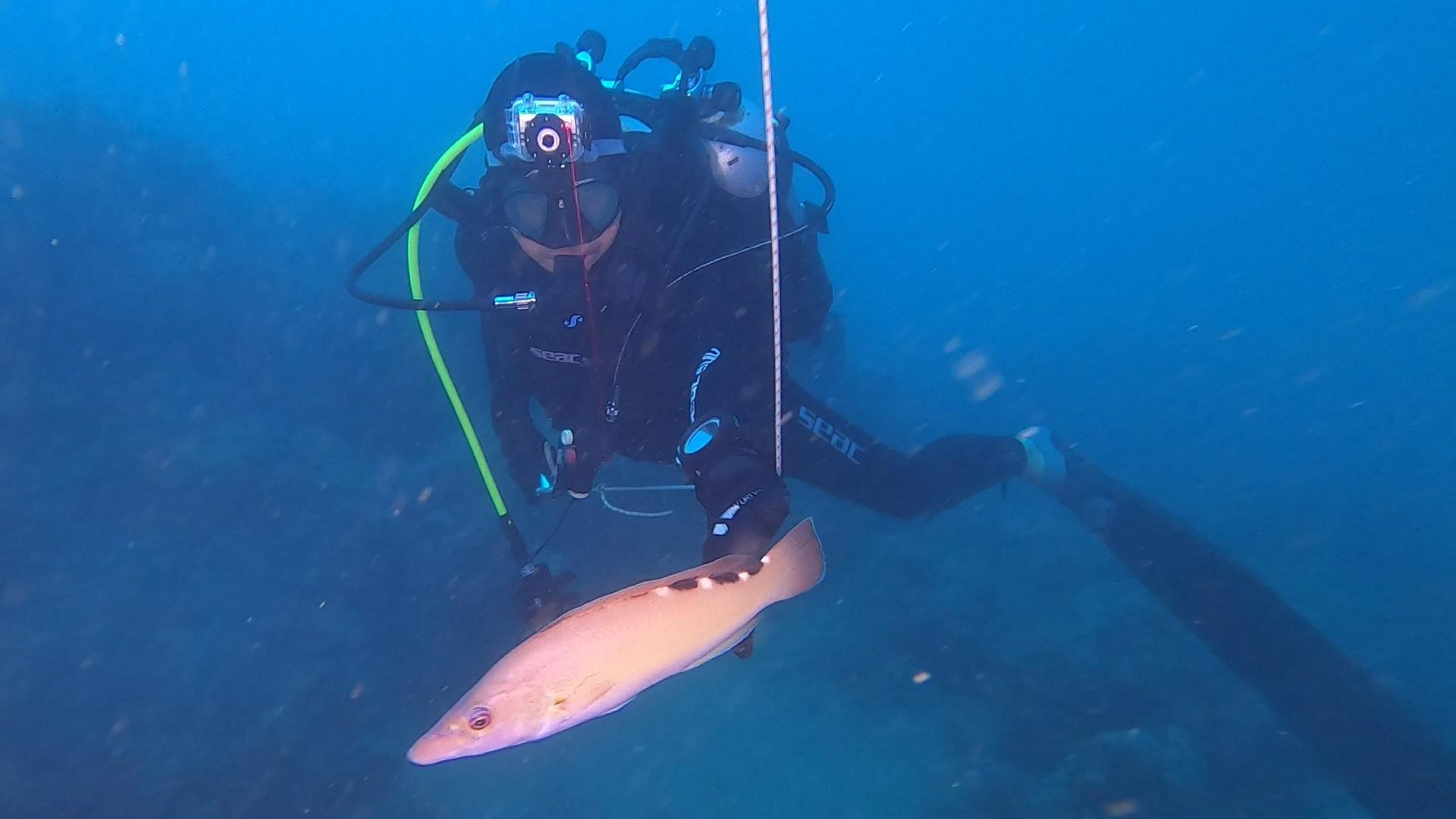 Pesci che difendono il loro territorio Labrus mixtus Tordo fischietto intotheblue.it