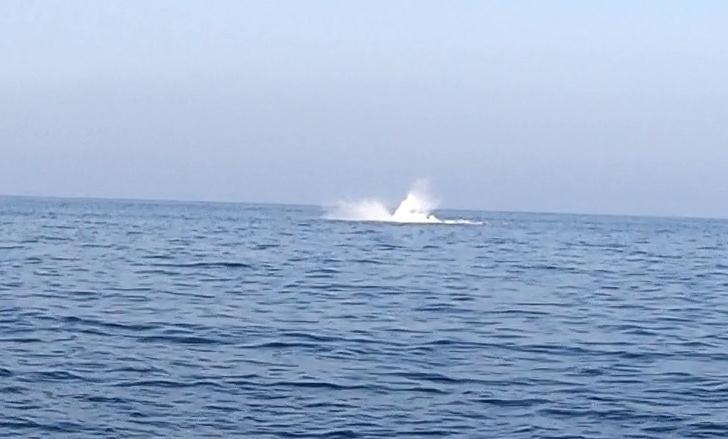 Megattera - Humpback whale - Megaptera novaeangliae - intotheblue.it