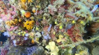 Felimare tricolor