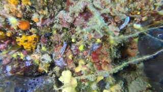 Nudibranchia - Felimare tricolor