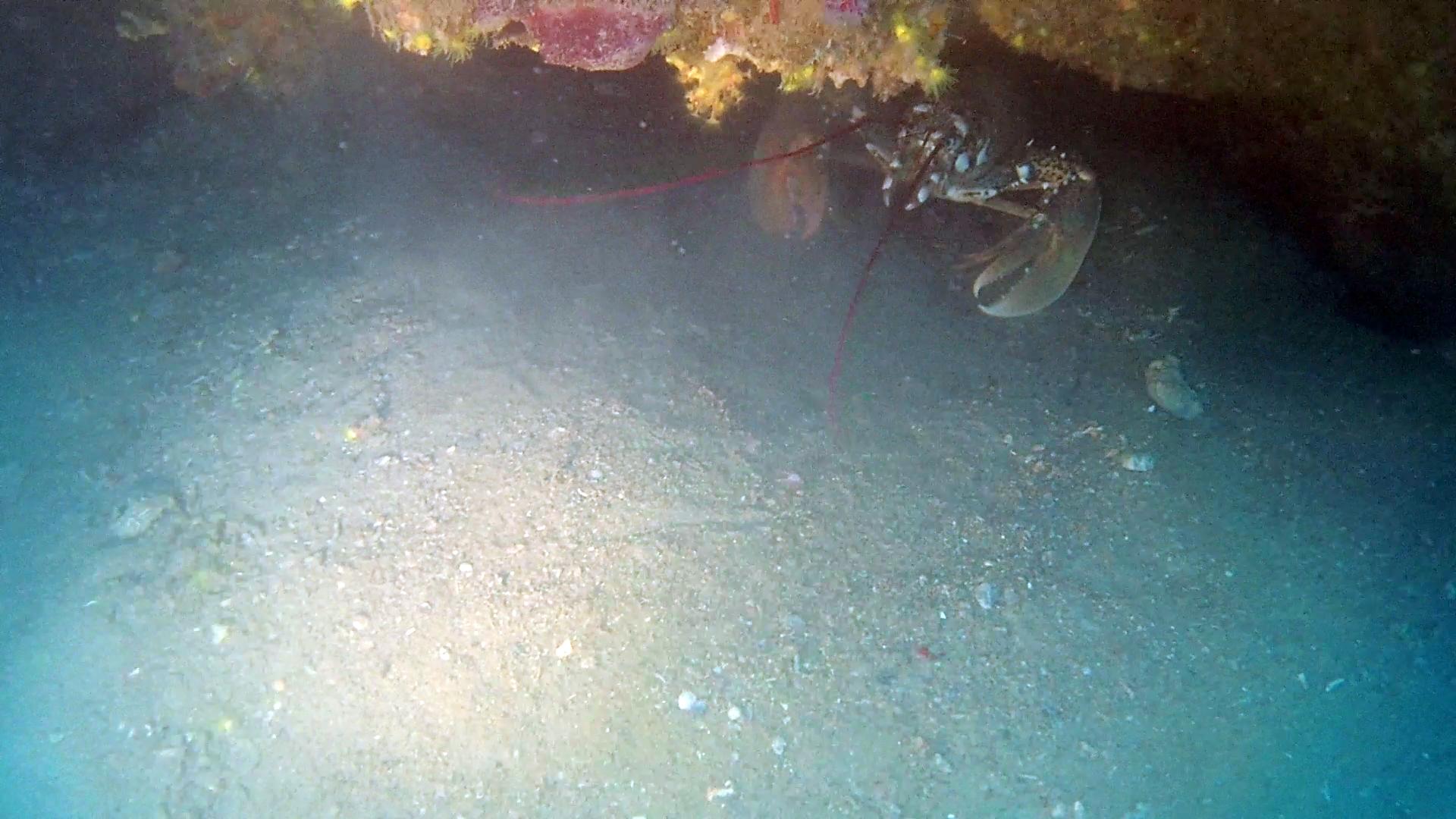 Astice - Homarus gammarus - European lobster - intotheblue.it