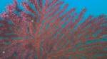 Gorgonia Rossa intotheblue.it