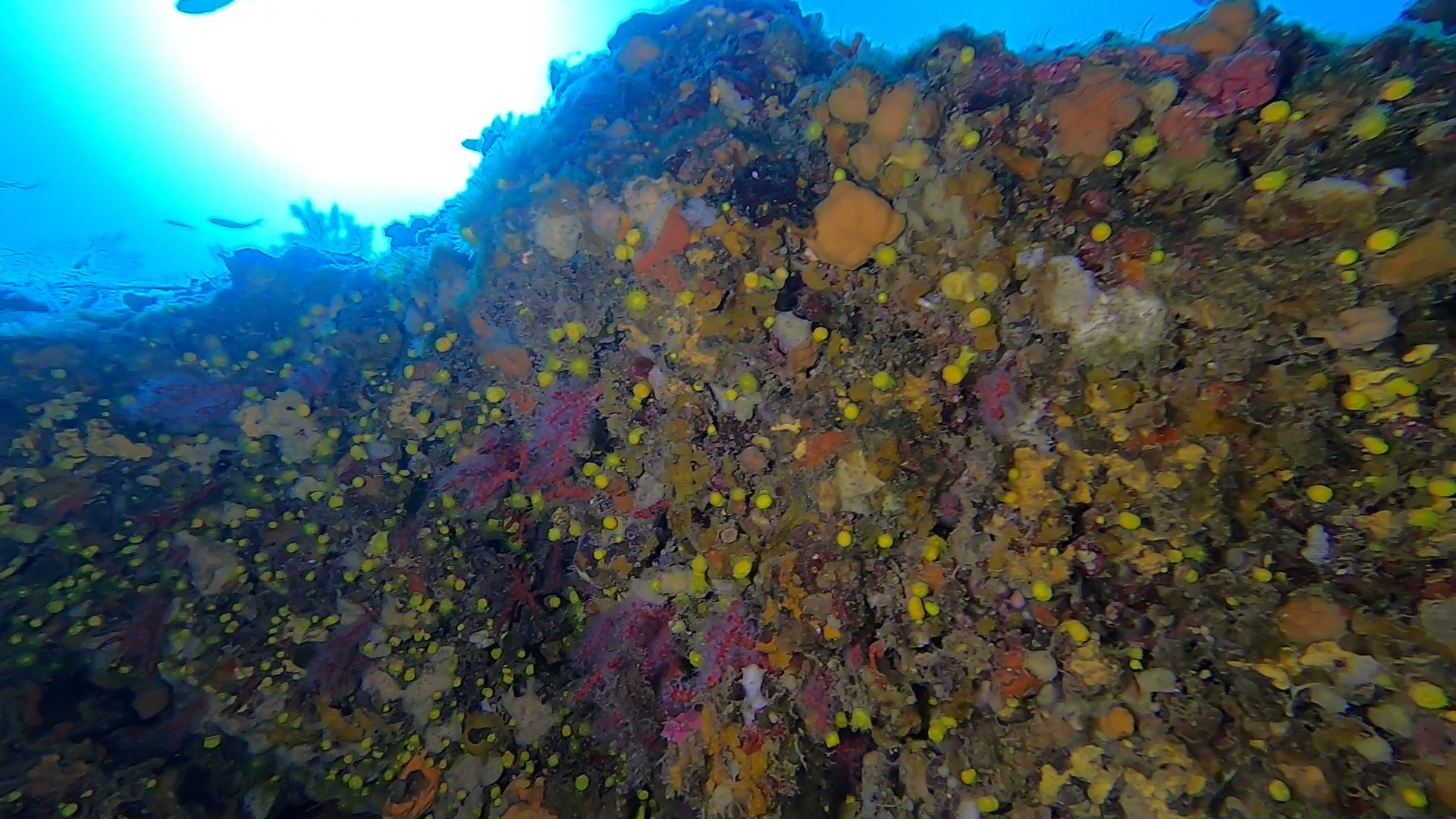 Bellissima parete di Corallo rosso - Wonderful red coral wall - intotheblue.it