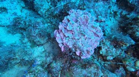 alga corallina Lithophyllum stictaeforme Coral algae intotheblue.it