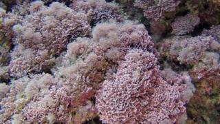 Alga Corallina caespitosa