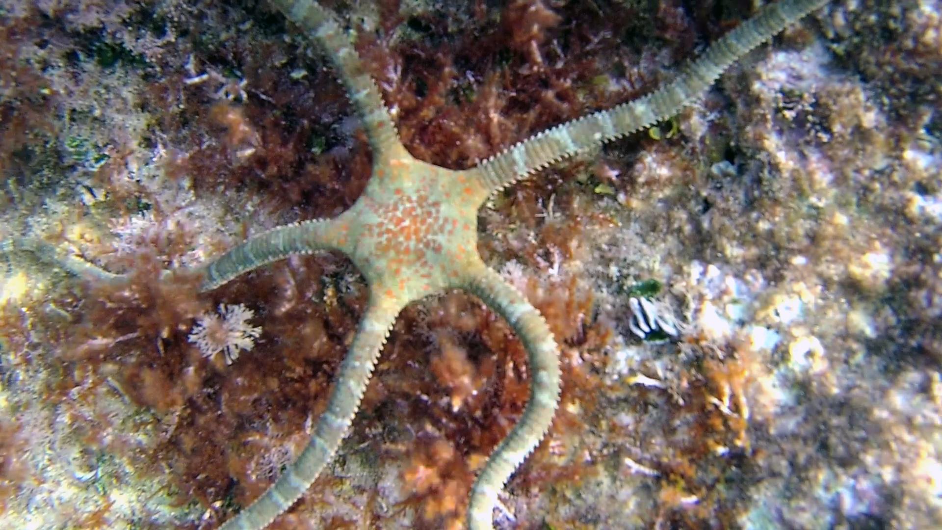 Stella Serpentina liscia - Ophioderma longicauda - brittle starfish - intotheblue.it