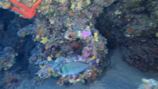 Black seabream - Spondyliosoma cantharus