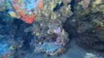 Tanuta Cantaro Spondyliosoma cantharus Black seabream intotheblue.it