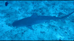 Squalo Tigre - Galeocerdo cuvier - Tiger Shark - intotheblue.it