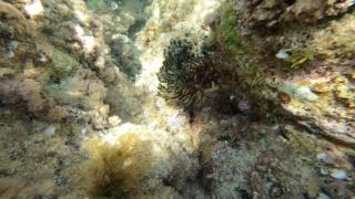 Alga Candelabro Verde - Codium fragile